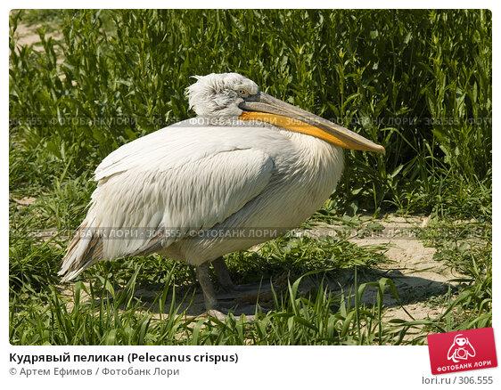 Купить «Кудрявый пеликан (Pelecanus crispus)», фото № 306555, снято 4 мая 2008 г. (c) Артем Ефимов / Фотобанк Лори