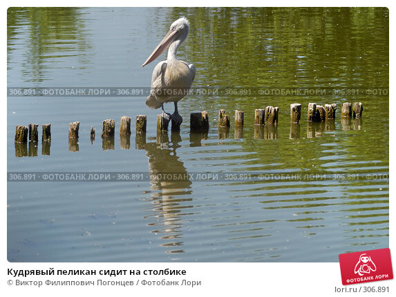 Кудрявый пеликан сидит на столбике, фото № 306891, снято 8 июня 2007 г. (c) Виктор Филиппович Погонцев / Фотобанк Лори