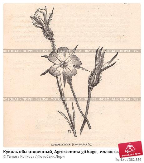 """Куколь обыкновенный, Agrostemma githago , иллюстрация из книги """"Flowers of the field"""", издано в Лондоне в 1888, иллюстрация № 382359 (c) Tamara Kulikova / Фотобанк Лори"""