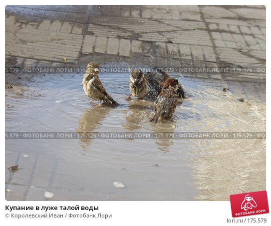 Купить «Купание в луже талой воды», фото № 175579, снято 4 февраля 2003 г. (c) Королевский Иван / Фотобанк Лори