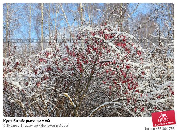 Куст барбариса зимой. Стоковое фото, фотограф Ельцов Владимир / Фотобанк Лори