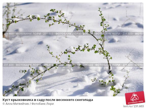 Куст крыжовника в саду после весеннего снегопада, фото № 231603, снято 1 мая 2007 г. (c) Алла Матвейчик / Фотобанк Лори