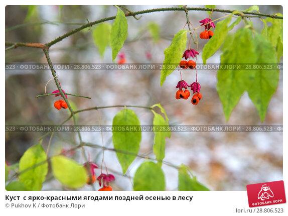 Купить «Куст  с ярко-красными ягодами поздней осенью в лесу», фото № 28806523, снято 28 октября 2017 г. (c) Pukhov K / Фотобанк Лори