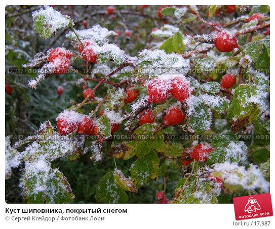 Купить «Куст шиповника, покрытый снегом», фото № 17987, снято 17 сентября 2006 г. (c) Сергей Ксейдор / Фотобанк Лори