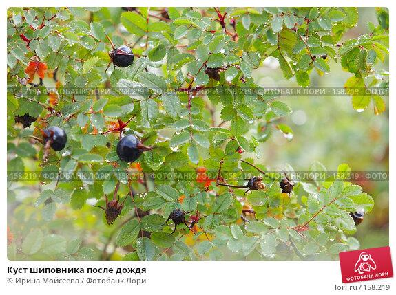 Куст шиповника после дождя, эксклюзивное фото № 158219, снято 16 сентября 2007 г. (c) Ирина Мойсеева / Фотобанк Лори