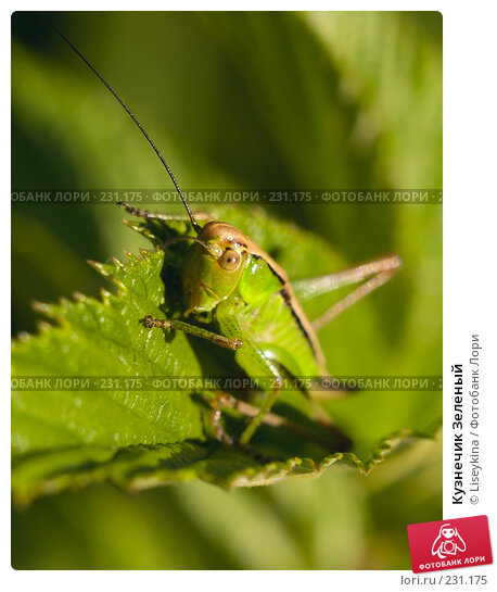 Купить «Кузнечик Зеленый», фото № 231175, снято 23 июня 2007 г. (c) Liseykina / Фотобанк Лори