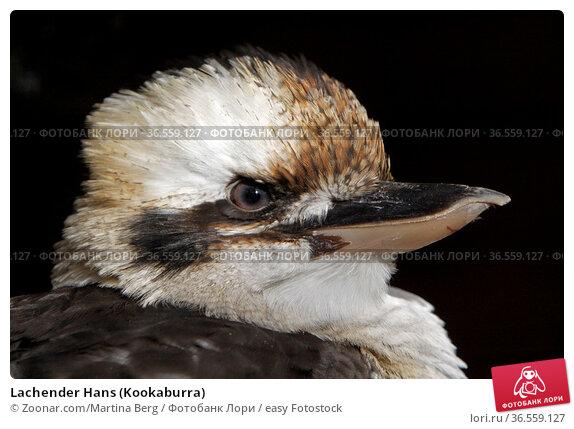 Lachender Hans (Kookaburra) Стоковое фото, фотограф Zoonar.com/Martina Berg / easy Fotostock / Фотобанк Лори
