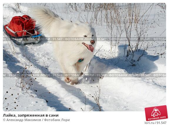 Лайка, запряженная в сани, фото № 91547, снято 24 февраля 2007 г. (c) Александр Максимов / Фотобанк Лори