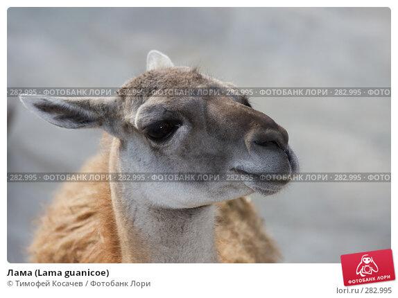 Лама (Lama guanicoe), фото № 282995, снято 12 апреля 2008 г. (c) Тимофей Косачев / Фотобанк Лори