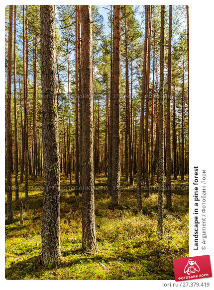 Купить «Landscape in a pine forest», фото № 27379419, снято 5 сентября 2014 г. (c) Argument / Фотобанк Лори