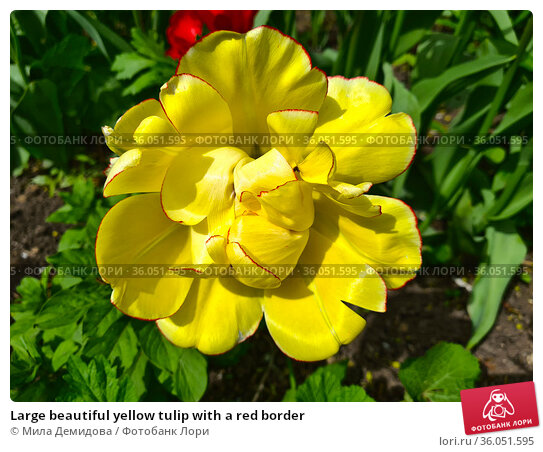 Large beautiful yellow tulip with a red border. Стоковое фото, фотограф Мила Демидова / Фотобанк Лори