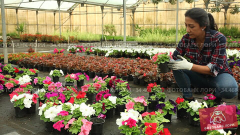 Latino woman florist working in plant nursery, checking blooming potted seedlings of petunia. Стоковое видео, видеограф Яков Филимонов / Фотобанк Лори