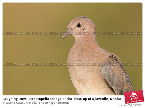Laughing Dove (Streptopelia senegalensis), close-up of a juvenile, Dhofar, Oman. Стоковое фото, фотограф Saverio Gatto / age Fotostock / Фотобанк Лори