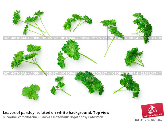 Leaves of parsley isolated on white background. Top view. Стоковое фото, фотограф Zoonar.com/Bozena Fulawka / easy Fotostock / Фотобанк Лори