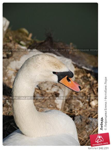 Купить «Лебедь», фото № 242231, снято 27 марта 2008 г. (c) Лифанцева Елена / Фотобанк Лори