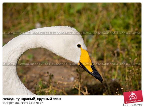 Лебедь тундровый, крупный план, фото № 80719, снято 5 августа 2007 г. (c) Argument / Фотобанк Лори