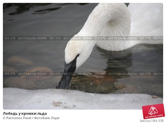 Лебедь у кромки льда, фото № 151175, снято 11 декабря 2007 г. (c) Parmenov Pavel / Фотобанк Лори