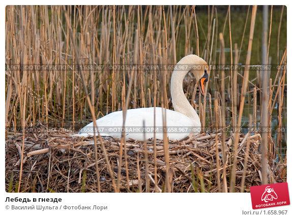 Лебедь в гнезде. Стоковое фото, фотограф Василий Шульга / Фотобанк Лори