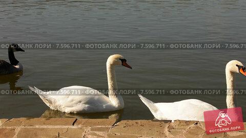 Купить «Лебеди плавают в озере», видеоролик № 7596711, снято 18 июня 2015 г. (c) Tatiana Kravchenko / Фотобанк Лори
