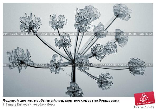 Ледяной цветок: необычный лед, мертвое соцветие борщевика, фото № 15703, снято 22 декабря 2006 г. (c) Tamara Kulikova / Фотобанк Лори