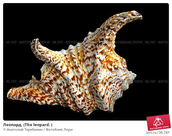 Купить «Леопард. (The leopard. )», фото № 95747, снято 6 октября 2007 г. (c) Анатолий Теребенин / Фотобанк Лори