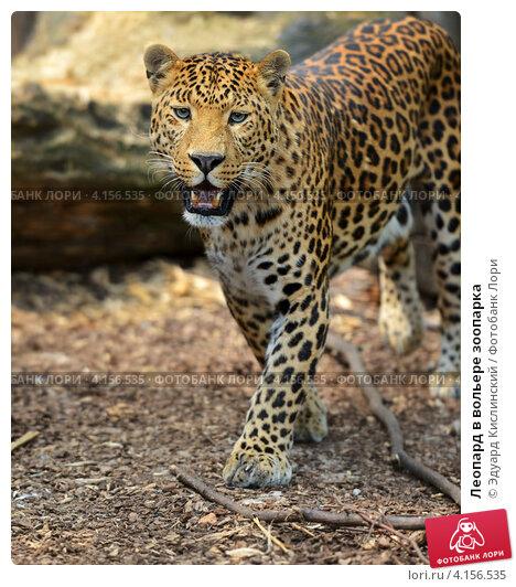 Купить «Леопард в вольере зоопарка», фото № 4156535, снято 24 июня 2012 г. (c) Эдуард Кислинский / Фотобанк Лори