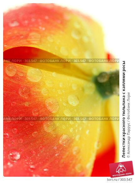 Лепестки красного тюльпана с каплями росы, фото № 303547, снято 21 апреля 2008 г. (c) Александр Паррус / Фотобанк Лори