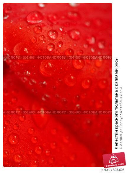 Лепестки красного тюльпана с каплями росы, фото № 303603, снято 21 апреля 2008 г. (c) Александр Паррус / Фотобанк Лори