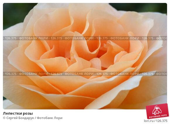 Лепестки розы, фото № 126375, снято 1 июля 2007 г. (c) Сергей Бондарук / Фотобанк Лори