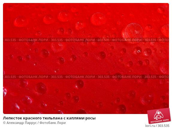 Лепесток красного тюльпана с каплями росы, фото № 303535, снято 21 апреля 2008 г. (c) Александр Паррус / Фотобанк Лори