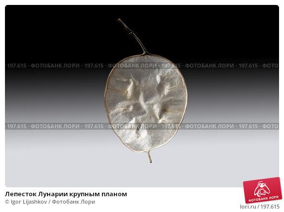 Лепесток Лунарии крупным планом, фото № 197615, снято 7 февраля 2008 г. (c) Igor Lijashkov / Фотобанк Лори