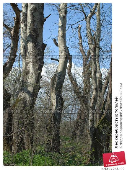 Лес серебристых тополей, фото № 243119, снято 4 апреля 2008 г. (c) Федор Королевский / Фотобанк Лори