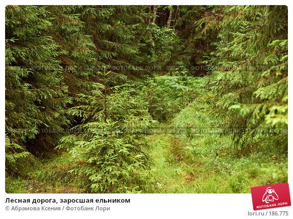 Лесная дорога, заросшая ельником, фото № 186775, снято 6 июля 2007 г. (c) Абрамова Ксения / Фотобанк Лори
