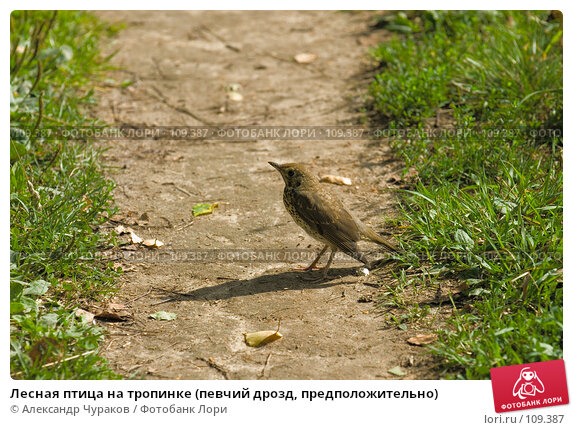 Лесная птица на тропинке (певчий дрозд, предположительно), фото № 109387, снято 8 августа 2006 г. (c) Александр Чураков / Фотобанк Лори
