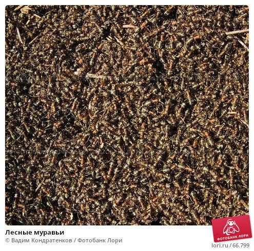Лесные муравьи, фото № 66799, снято 24 октября 2016 г. (c) Вадим Кондратенков / Фотобанк Лори