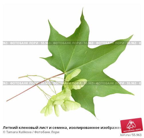 Летний кленовый лист и семена, изолированное изображение, фото № 55963, снято 27 июня 2007 г. (c) Tamara Kulikova / Фотобанк Лори