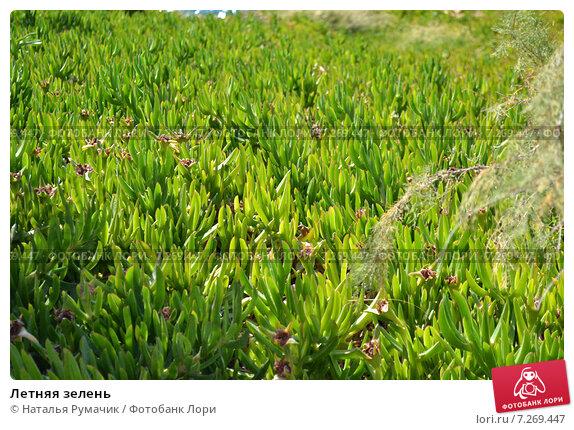 Летняя зелень. Стоковое фото, фотограф Наталья Румачик / Фотобанк Лори