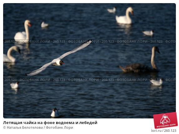 Летящая чайка на фоне водоема и лебедей, фото № 260123, снято 29 марта 2008 г. (c) Наталья Белотелова / Фотобанк Лори