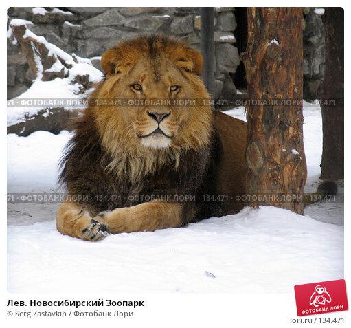 Лев. Новосибирский Зоопарк, фото № 134471, снято 7 ноября 2004 г. (c) Serg Zastavkin / Фотобанк Лори