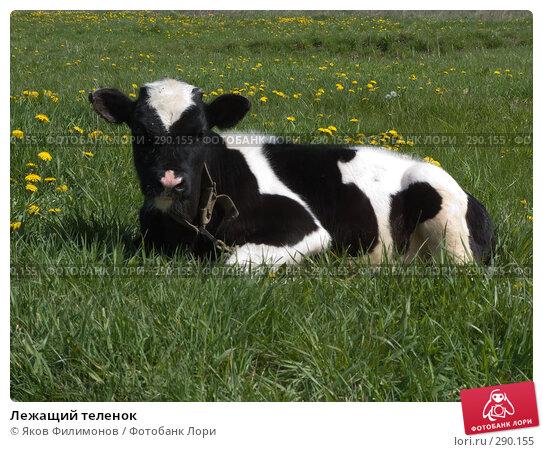 Купить «Лежащий теленок», фото № 290155, снято 18 мая 2008 г. (c) Яков Филимонов / Фотобанк Лори