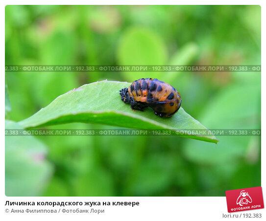 Личинка колорадского жука на клевере, фото № 192383, снято 30 июня 2007 г. (c) Анна Филиппова / Фотобанк Лори