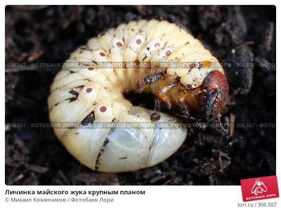 Купить «Личинка майского жука крупным планом», фото № 306507, снято 12 апреля 2008 г. (c) Михаил Коханчиков / Фотобанк Лори