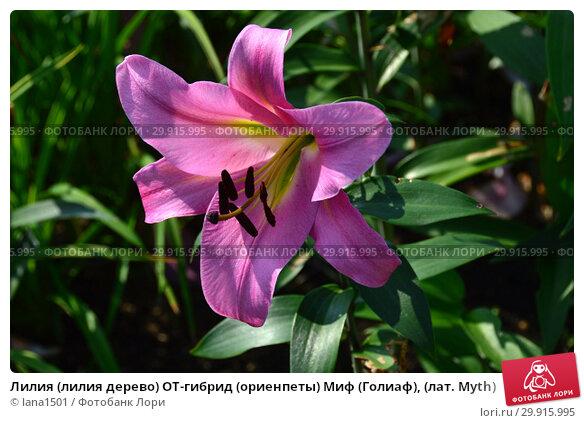 Купить «Лилия (лилия дерево) ОТ-гибрид (ориенпеты) Миф (Голиаф), (лат. Myth)», эксклюзивное фото № 29915995, снято 27 июля 2015 г. (c) lana1501 / Фотобанк Лори