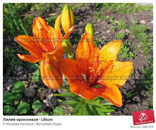 Лилия оранжевая - Lilium, фото № 200215, снято 8 июля 2006 г. (c) Беляева Наталья / Фотобанк Лори