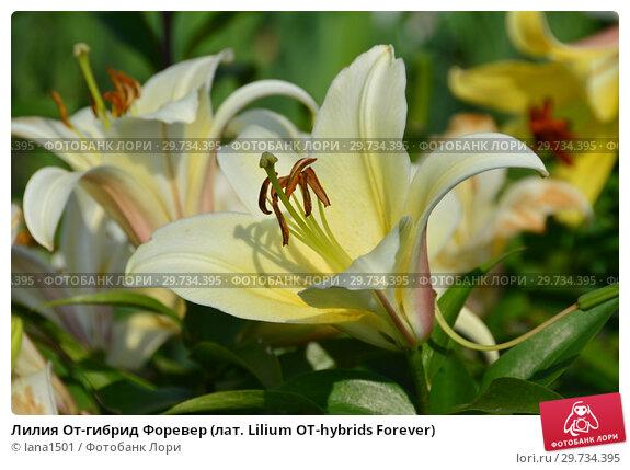 Купить «Лилия От-гибрид Форевер (лат. Lilium OT-hybrids Forever)», эксклюзивное фото № 29734395, снято 27 июля 2015 г. (c) lana1501 / Фотобанк Лори