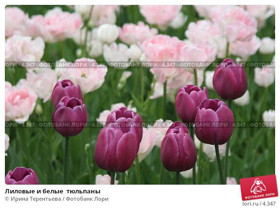 Купить «Лиловые и белые  тюльпаны», эксклюзивное фото № 4347, снято 29 мая 2006 г. (c) Ирина Терентьева / Фотобанк Лори