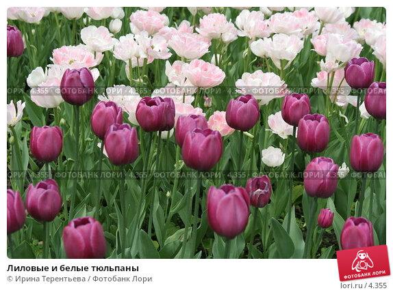Лиловые и белые тюльпаны, эксклюзивное фото № 4355, снято 29 мая 2006 г. (c) Ирина Терентьева / Фотобанк Лори