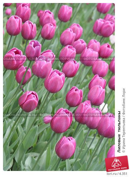 Лиловые  тюльпаны, эксклюзивное фото № 4351, снято 29 мая 2006 г. (c) Ирина Терентьева / Фотобанк Лори