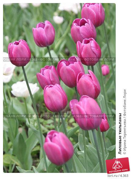 Лиловые тюльпаны, эксклюзивное фото № 4363, снято 29 мая 2006 г. (c) Ирина Терентьева / Фотобанк Лори