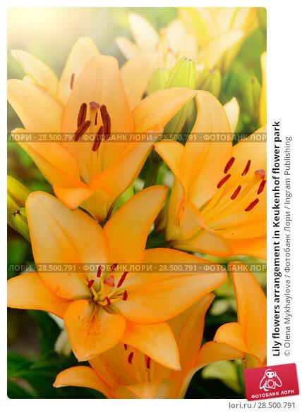 Купить «Lily flowers arrangement in Keukenhof flower park», фото № 28500791, снято 2 июля 2013 г. (c) Ingram Publishing / Фотобанк Лори